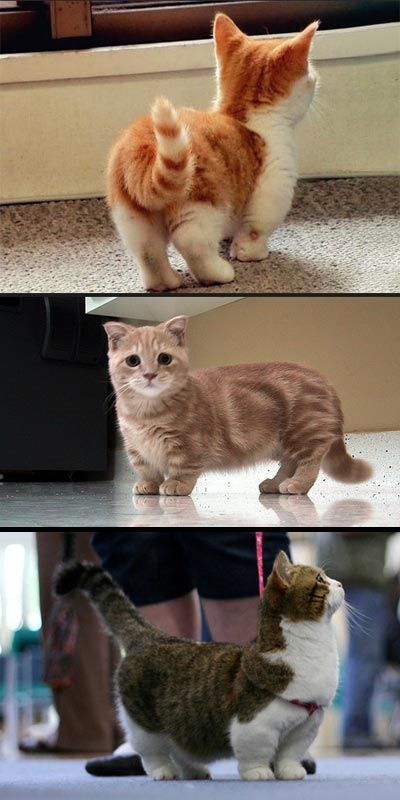 munchkin cats: my favorite type of cat even though I vow never to get a pure bred. I LOVE THESE CATS! Naturally occurring mutation that was discovered in a litter of kittens in the 80s on a farm in England.
