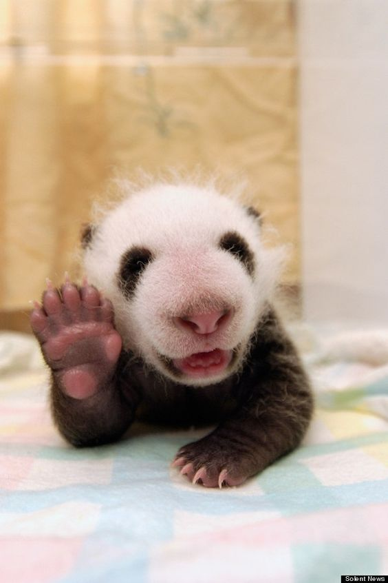Newborn baby pandas are no heavier than a cup of tea!