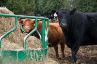 Lowdown on Lowlines --  Meet the little breed of cattle that can turn big profits for your hobby farm.