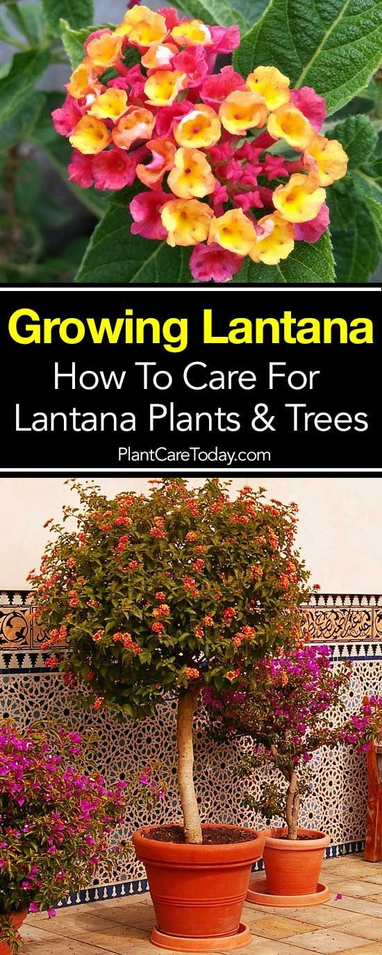Lantana Bush Care How To Grow Lantana Plant And Trees Guide With Images Lantana Plant Outdoor Flowers Sun Loving Plants