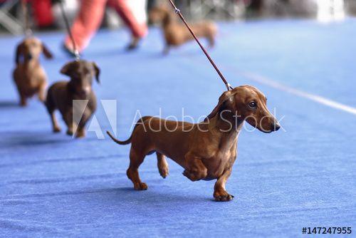Dachshunds On The Dog Show Dachshund Dog Dog Show Dachshund