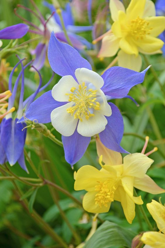 Columbines Even Though This Flowering Plant Can Handle The Sun It Hates The Heat So If Flowers Perennials Beautiful Flowers Garden Best Perennials For Shade