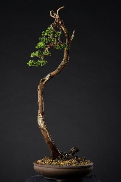 Pinterest the world s catalog of ideas for Literati bonsai gallery