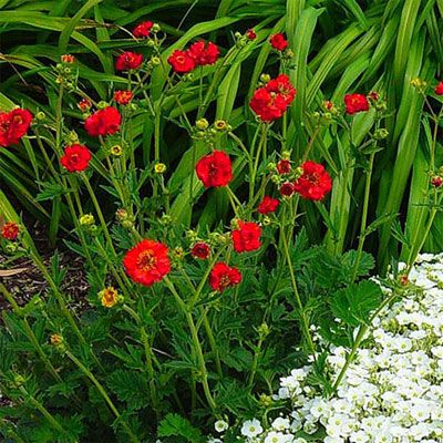 20 favorite perennial flowers scarlet drought tolerant for Plant with tall spikes of yellow flowers