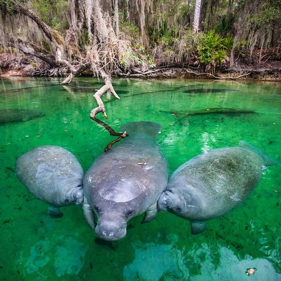 A Manatee nurses her twin calves in Blue Spring State Park, Florida.  Twins are very rare for Manatees. Mothers nurse their young from one to two years.  #manatee #baby  #beauty #nature #keepexploring #letsexplore #love #instagood #photooftheday #picoftheday