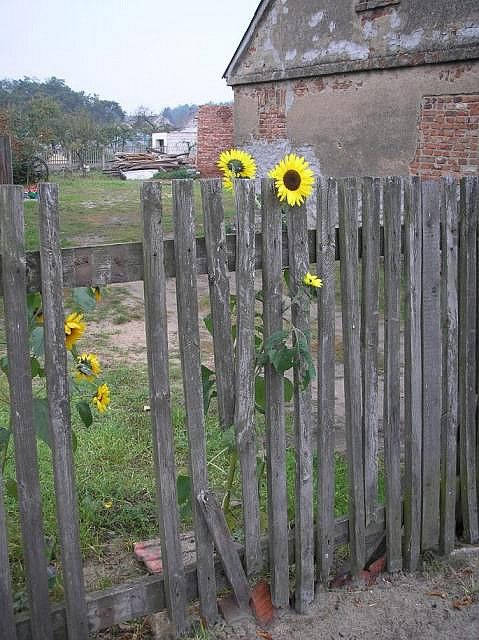 Fence with sunflowers. Fence needs a few repairs ~~~~