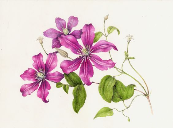Clematis. From the collection of botanical illustrations of flowers by Wendy Hollender.