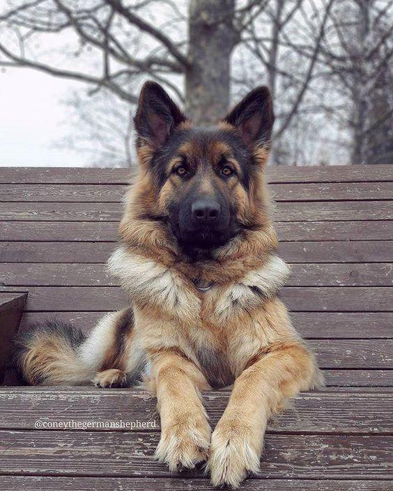 Pin By Elizabeth Stivers On Animals In 2020 German Shepherd Dogs