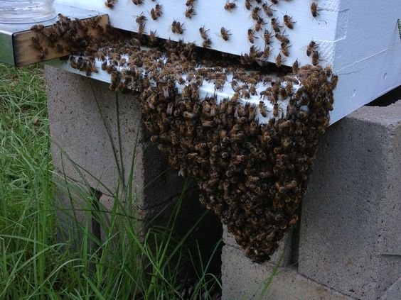 Bees hanging out...literally...because of the heat inside the hive.  You can see this on hives from late afternoon until dusk.