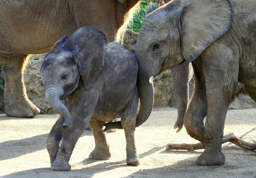 llbwwb:  Todays Cuteness :)  (via Playing young elephants by Rainer Leiss / 500px)