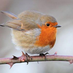 fat birds - Google Search