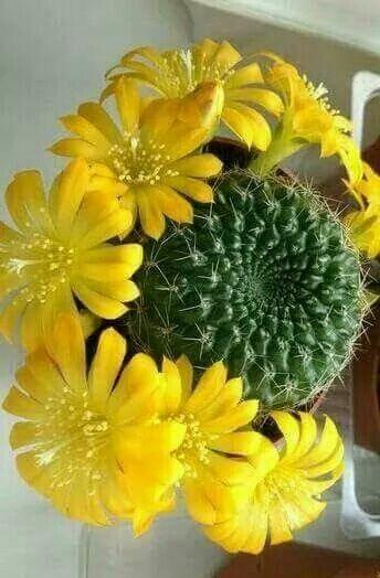 Piante Grasse Con Fiori Gialli.Pin De Elena Volpe En Piante Grasse Con Imagenes Flores