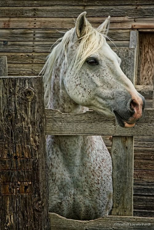 flea-bitten grey horses will forever remind me of Rambo, my first horse love