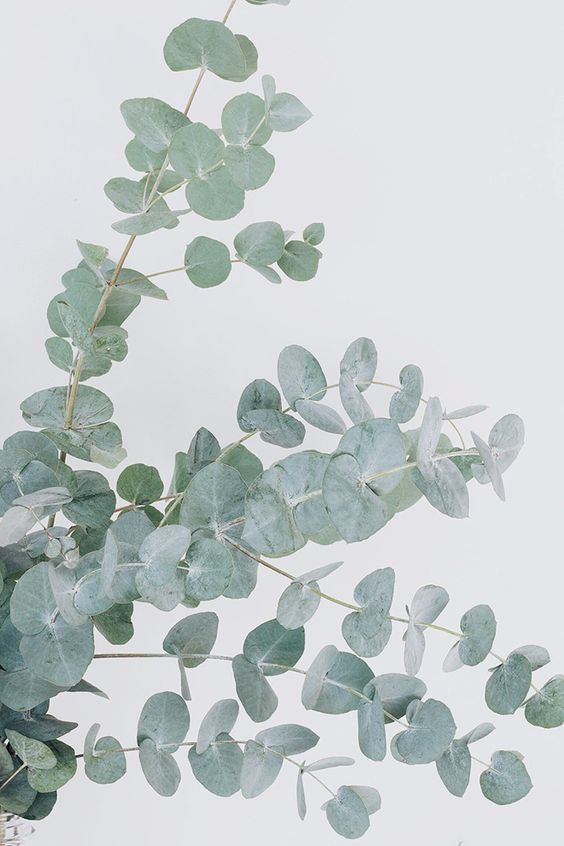 Eucalyptus: Discover the Uses and Benefits of This Medicinal Plant