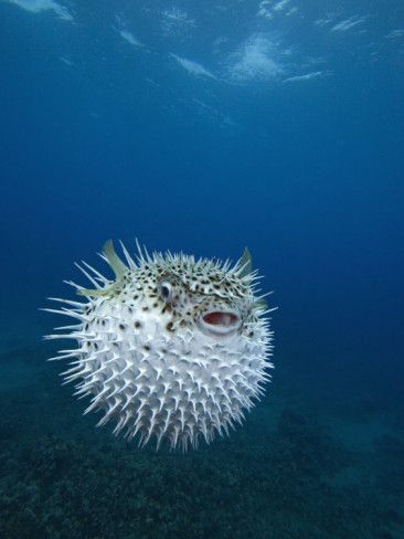 Porcupine Puffer Fish: when puffer fish are forced to puff up, they induce a process physiologically similar to having a heart attack. In some cases, the puffing is hard enough on their systems to be fatal.:
