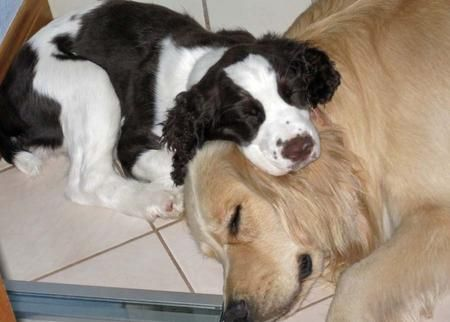 Daisy the Springer Spaniel and big brother Hemingway