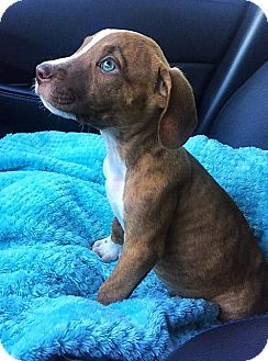 American Pit Bull Terrier Mix Puppy for adoption in Dallas
