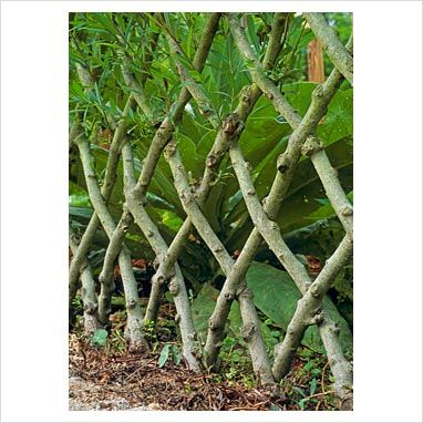 GAP Photos - Garden & Plant Picture Library - Live willow fence - GAP Photos - Specialising in horticultural photography