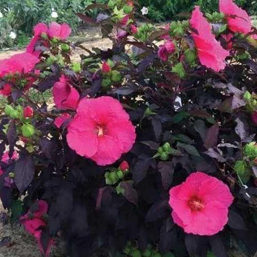 37 Of The Best Hibiscus Varieties In 2020 Growing Hibiscus Flowers Flower Garden