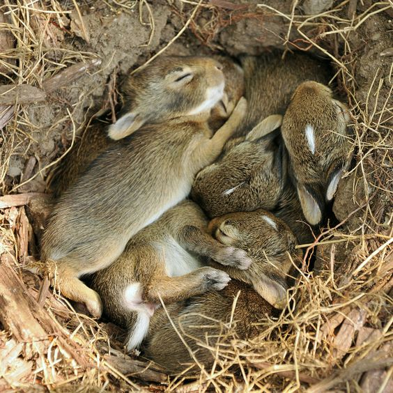 Baby bunnies!: Rabbit Hole, Sleeping Bunnies, Bunbun, Baby Bunnies, Baby Animal, Bunny Nest, Good Good
