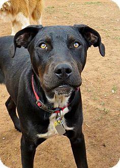 Edmond, OK - Labrador Retriever Mix. Meet Vincent a Dog for Adoption.