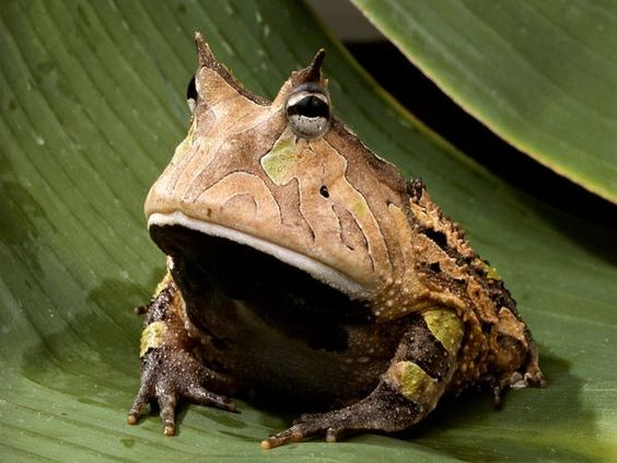 Amazon horned frog.  Photograph by George Grall