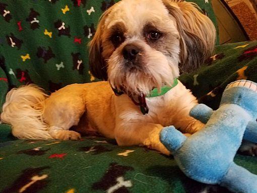 Albany Ny Shih Tzu Meet Oscar A Dog For Adoption Pets Pet Adoption Adoption