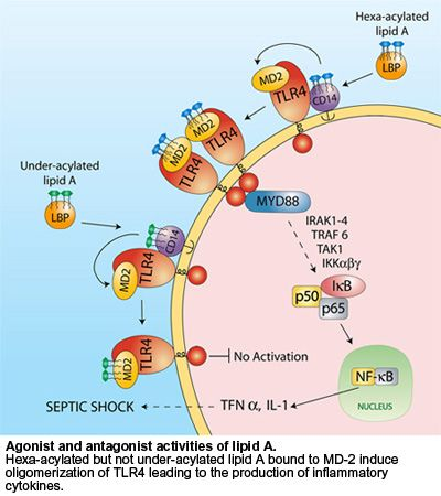 Agonist and antagonist activities of Lipid A