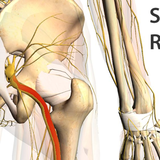 The Sciatic Nerve Is Among The Largest In The Body It