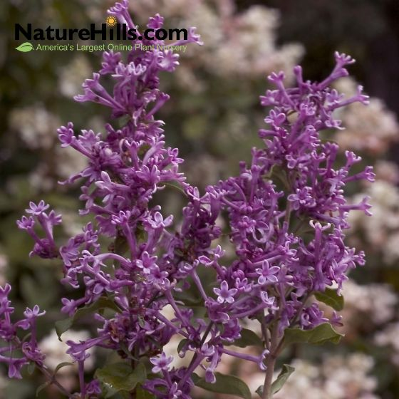 Bloomerang Dark Purple Lilac In 2020 Lilac Tree Purple Lilac Lilac