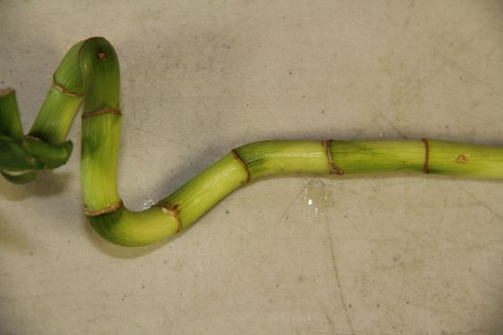 Contact Us Buyluckybamboo Lucky Bamboo Plants Bamboo Care Lucky Bamboo Care