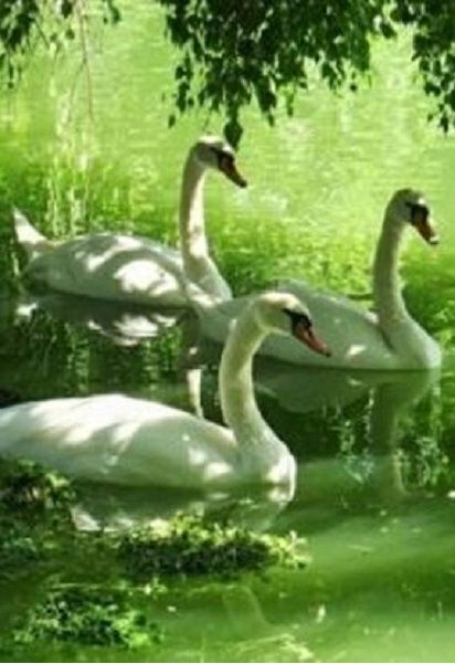 Wonderful to come across some graceful swans!: