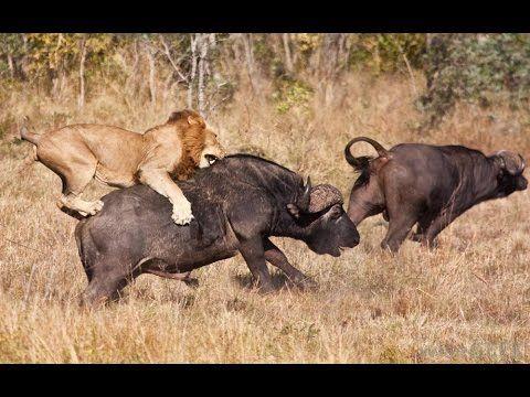 Lions Documentary | Lions Vs Hyenas Endless War National ...