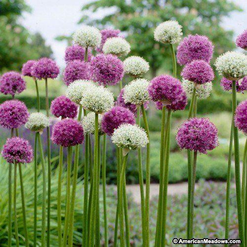 Wild About Allium Mix Allium Flowers Bulb Flowers White Flower Farm