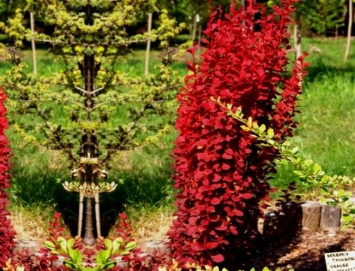 Berberys Kolumnowy Orange Pillar Na Zywoplot Nowos 6440883445 Oficjalne Archiwum Allegro Interior Plants Plants Flowers