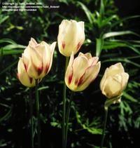 Tulipa marjolletii