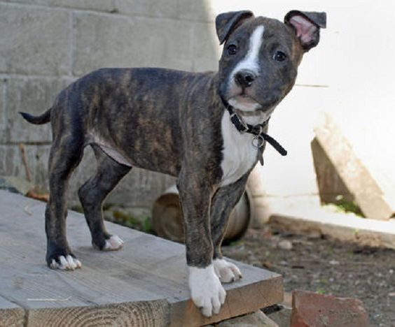 American Pitbull Terrier Boston