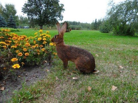 Кролик породы Бельгийский заяц.  Красно- коричневый.  Haasenkaninchen ro...