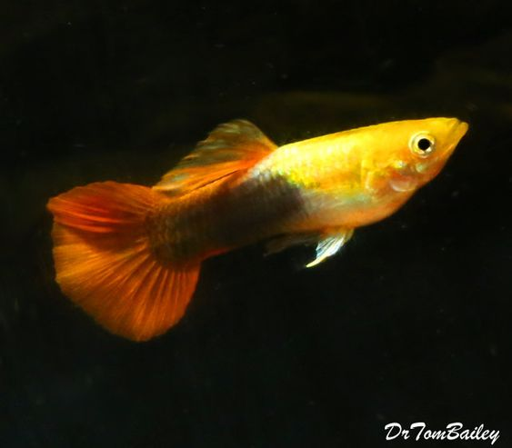 Premium Fancy Male Gold Red Tuxedo Guppy 1 To 1 5 Long Guppy Fish Molly Fish Fish