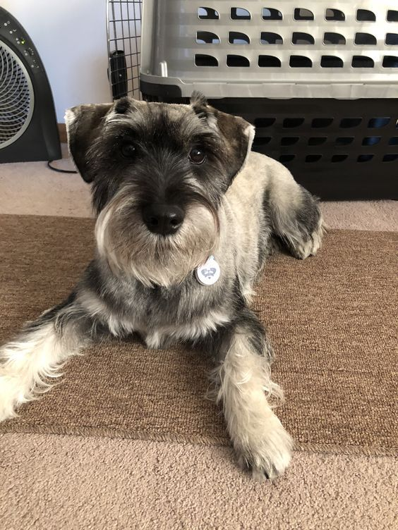 Are You Talking To Me Standard Schnauzer Puppies Sweet Dogs
