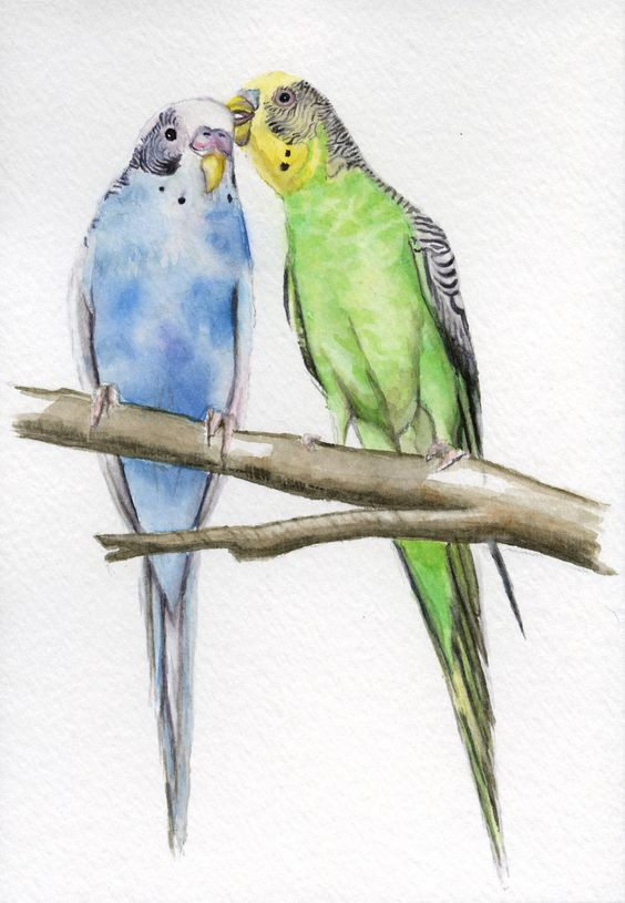 ACEO Parakeet painting, budgies, 2.5x3.5 print from original watercolor painting pet bird parakeets animals erthspalette