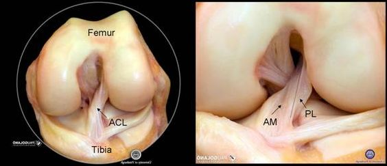 Anteromedial and Posterolateral bundles of the ACL. Freddie Fu.