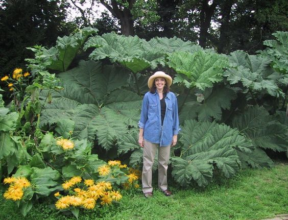 Gunnera Manicata Giant Leaf Dinosaur Like Plant Hardy To Zone 7 Gotta Try