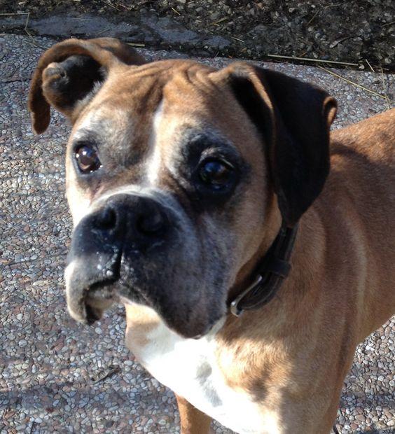 MISCIU boxer maschio età 9 anni,  5 passati in Canile. E' invecchiato da solo nella sua gabbia.  Vorremmo regalargli gli ultimi anni in famiglia. MISCIU è un cane triste. Un cane che ci piacerebbe sorridesse di nuovo. #canilerimini #svuotiamoicanili