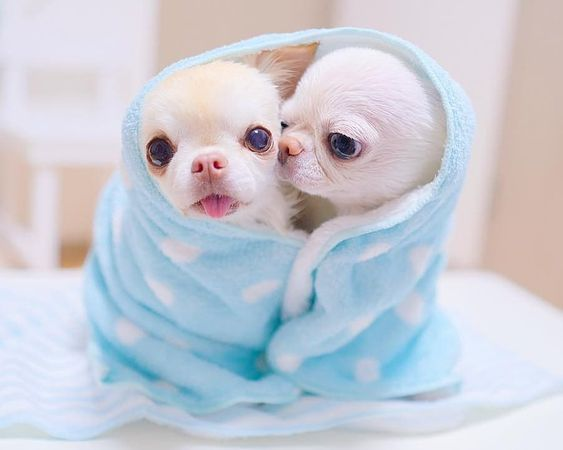 Cute Chihuahua Puppy Chihuahua Puppy Cute Cute Baby Animals