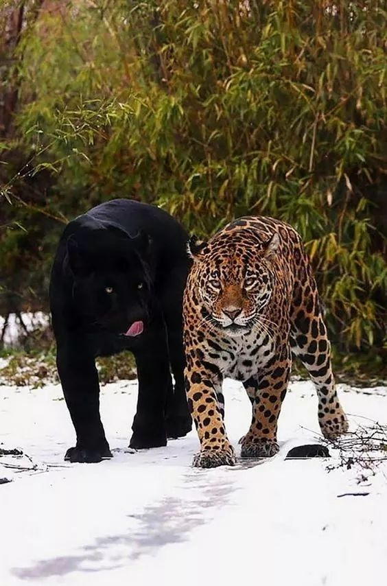 What Do Jaguars Eat >> Looks Like The Black Jaguar Is Ready To Eat The Leopard