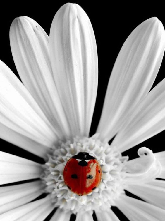 ...white daisey with lady beetle...
