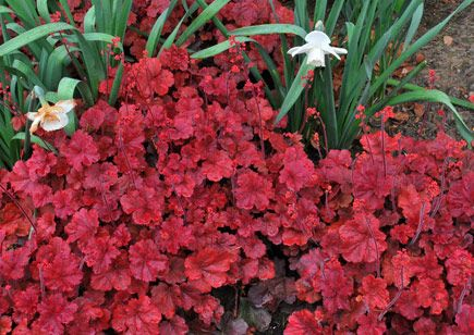 Cherry Cola Coral Bells