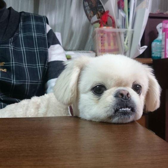 あごおきだいすき  #犬 #わんこ #dog #福 #ふわもこ部 #ペキニーズ #pekingese #ポメラニアン #pomeranian #ポメペキ #mix #ミックス犬 #鼻ぺちゃ by fuku_fukuyama