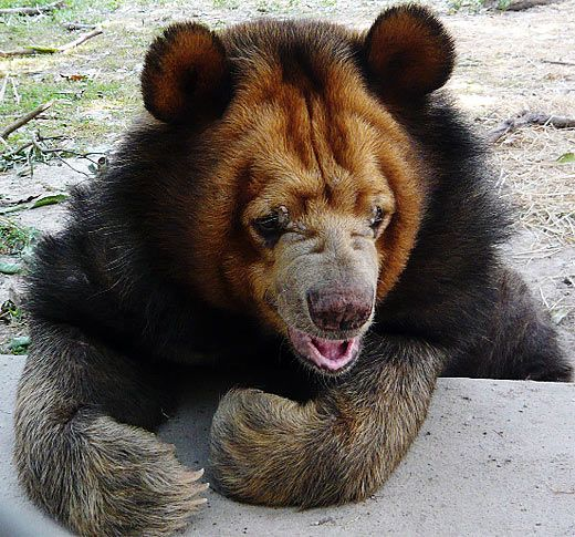 Asian Black Bear - Moon, White Chested Bear